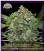 DinaFem Auto White Cheese Fem 5 Weed Seeds